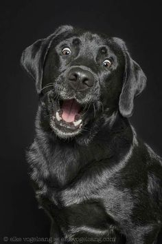 Mind Blowing Facts About Labrador Retrievers And Ideas. Amazing Facts About Labrador Retrievers And Ideas. Black Lab Puppies, Cute Puppies, Cute Dogs, Dogs And Puppies, Doggies, Funny Dogs, Funny Animals, Cute Animals, Animals Dog