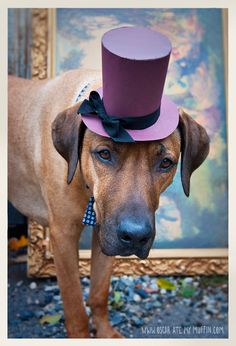 Oscar the Rhodesian Ridgeback dressed up for Halloween Dog Halloween Costumes, Dog Costumes, Funny Dogs, Cute Dogs, Rhodesian Ridgeback, Animal Costumes, Cool Pets, Large Dogs, Dog Life