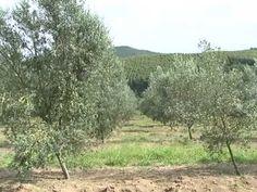 Produção de azeitonas