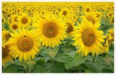sunflower garden - Pixdaus