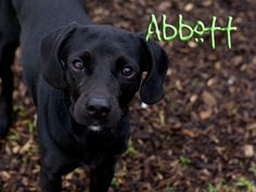 Abbott is a sweet little guy who is in search of his forever home with a new family. He is good on a leash and knows how to sit. Likes to be around people and is affectionate.  Please visit Indianapolis Animal Care & Control, $60 adoption fee.