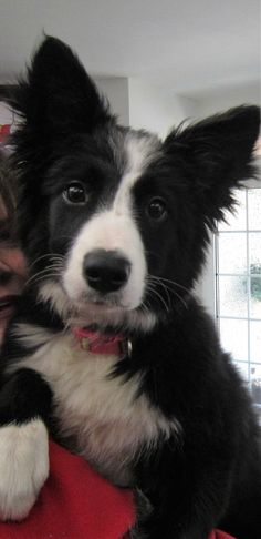 "Puppy Asha the border collie ...A Natural Poser for the camera...""How Adorable am I...?"""