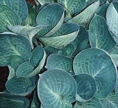 Hosta Dixie Cups,buy T. Avent 07 for sale,Hosta Dixie Cups-Plant Delights Nursery, Inc.