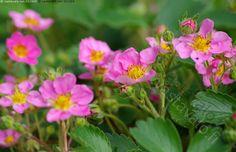 Koristemansikka, Fragaria x rosea 'Pink Panda' - Koristemansikka Fragaria x rosea 'Pink Panda' maanpeittokasvi koristekasvi puutarha kesä perenna monivuotinen vaaleanpunainen kukka