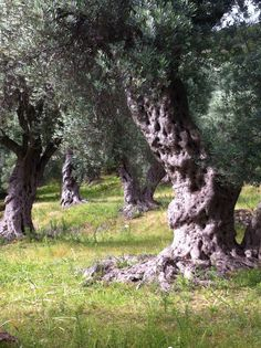 Olive tree Kruce, Montenegro