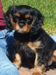 CKCS Puppy Black and Tan
