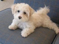 Adult Maltese Poodle Mix | Adult Maltipoo Haircut http://lorrieabdo.blogspot.com/2009_01_01 ...