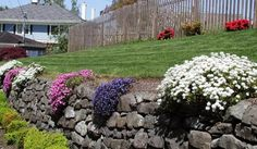 Rock wall with candytuft, phlox and what looks like blue star creeper maybe?