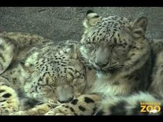 Two snow leopards move into the same exhibit and fall instantly in love <3