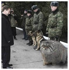 well I like animals sure, but this one, this big funny cat called Pallas cat from central asia countries diserves its name in full, plus I love his attitude towards the master belgium shepherd dogs