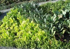 Mass plantings are key to edible landscaping | Kitchen vegetable garden | jardin potager | bauerngarten