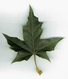 ACER PLATANOIDES, Norway Maple (invasive)
