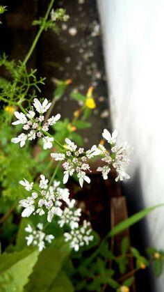 Flores de coentro.