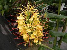 Hedychium gardnerianum   Ginger