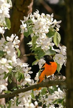 Baltimore Oriole, since I just visited! XOXO