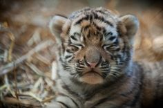Amur Tiger cub from Pittsburgh Zoo.  What a face!