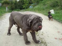Ima get me one of these Big Dogs, Dogs And Puppies, Doggies, Pet Future, Animals And Pets, Funny Animals, Neopolitan Mastiff, Mastiff Dog Breeds, Beast Friends