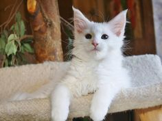 Maine Coon Kitten | Cattery Culture of Ascent | The Netherlands