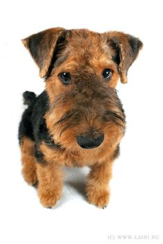 Airedale Terrier, what a great picture, cute*💜* Irish Terrier, Airedale Terrier, Fox Terrier, All Dogs, I Love Dogs, Cute Dogs, Dogs And Puppies, Felt Animals, Cute Animals