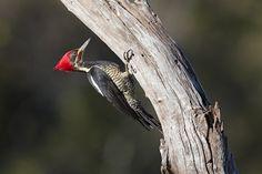 https://flic.kr/p/wxpx87 | Lineated Woodpecker (Pica-pau-de-banda-branca) | Male  Scientific name: Dryocopus lineatus  Location: Ibiá, Minas Gerais, Brazil