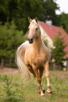 palomino stallion, photo by Frauke Hesse Horses And Dogs, Cute Horses, Horse Love, Wild Horses, Black Horses, Most Beautiful Horses, All The Pretty Horses, Animals Beautiful, Beautiful Arabian Horses