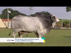 TOCANDO NO TOURO CRV LAGOA - BACKUP (Nelore) Out - 2012 - YouTube