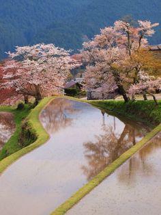 sakura #japan #mie