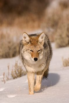 picture of Coyote Animal Picture USA Image