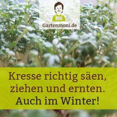 So säst, ziehst und erntest Du selbst  vitaminreiche, gesunde Kresse richtig. Auch im Winter!