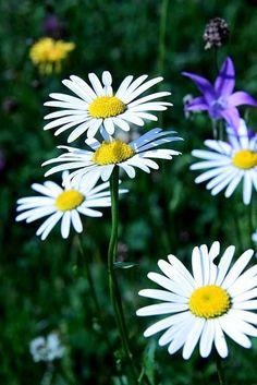 Look this daisy daisy daisy ...!