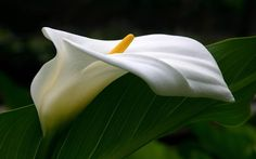 Calla Lily Flower general Description and Facts | Typesofflower.com