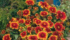 AAS Winner Arizona Sun, Gaillardia aristata is a perennial hardy to zone 3.