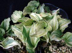 Maianthemum dilatatum 'Shiro Shima Fu' Opening Day, Shiro, Wild Flowers, Landscaping, Vegetables, Garden, Nature, Garten, Naturaleza