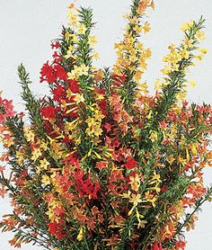 Hummingbird Mix Ipomopsis Seeds and Plants, Annual Flower Garden at Burpee.com