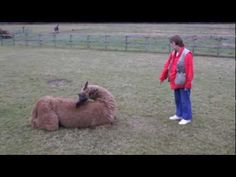 Clicker-trained llama: Toby is back with two brand new routines. Back Routine, Training, Brand New, News, Animals, Animaux, Animal, Work Out, Education