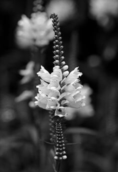 """Check out my art piece """"Showy Obedient Plant - Black And White"""" on crated.com #art #photography #flowers"""