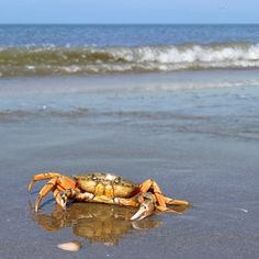The Invasive European shore crab attacking my camera by B℮n, via Flickr