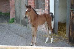 Newborn colt in Bosdorf, Germany 2008
