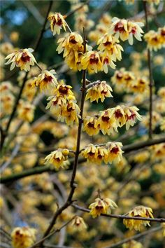 Chimonanthus praecox. 'Wintersweet' is an appropriate common name, as the flowers appear all winter, and are renowned for their fragrance. It is best grown on a warm sheltered wall in full sun, behind other plants which provide later colour over once the wintersweet has finished flowering.