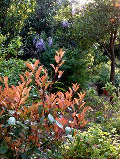 Fotinia, beautiful shrub. Blooming at the moment