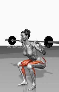 The muscles involved in barbell squat exercises. The agonist (active) muscles of this exercise are highlighted. Workout Meal Plan, Squat Workout, Gym Workouts, Power Training, Body Training, Cable Machine Workout, Calf Exercises, Barbell Exercises, Mundo Fitness