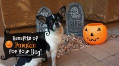 Benefits of pumpkin for your dogs!