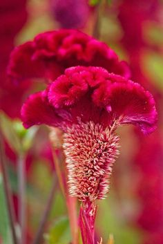 Emmy DE * Red Cockscomb