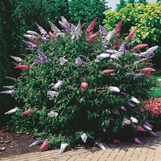 3-in-1 Butterfly Bush - Light: Full sun to partial shade  Height: 6-9'  Deer Resistant  Bloom Time: Midsummer to frost  Zones: 4 to 9  Stalks of fragrant color in lavender, white and magenta! This prolific bloomer draws butterflies—and admiring glances! Rounded shrub has slender, arching branches and long panicles of star-like flowers.