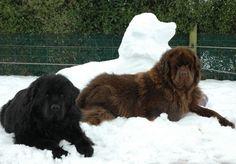 Newfoundland snow dog and buddies! Henry and Enzo