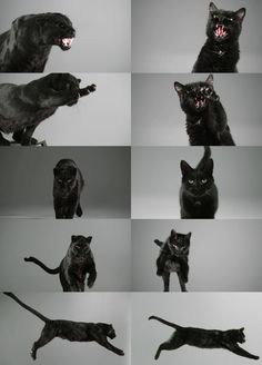 {Caturday: Domestic vs Jungle Cat} black panther / domestic black cat