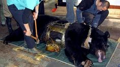 extraction of bear bile black stops in China