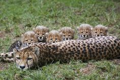 16 Cute Animal Pictures for Your Day on Love Cute Animals Cheetah Family, Cheetah Cubs, Big Cats, Cats And Kittens, Cute Cats, Nature Animals, Animals And Pets, Animals Photos, Beautiful Cats