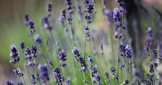 Image: levander by AndrasZsolt on DeviantArt Dandelion, Food And Drink, Fruit, Drinks, Health, Garden, Flowers, Plants, Provence