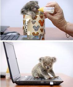 Baby Koala !